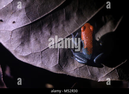 Blue-jeans Frog or Strawberry Poison-dart frog Costa Rica - Stock Photo