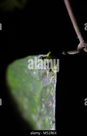 Cochranella glass frog Osa Peninsula Costa Rica - Stock Photo