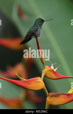 charming hummingbird (Amazilia decora) and also known as the beryl-crowned on Lobster Claw flower Costa Rica - Stock Photo