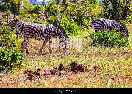 Herd of zebras grazing in the bush - Stock Photo