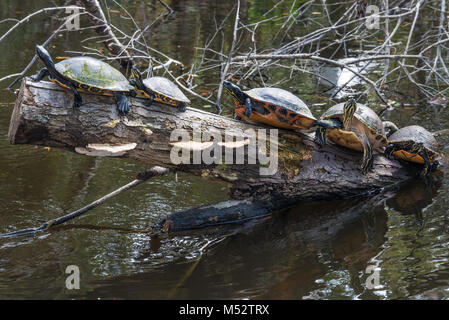 A row of yellow-bellied slider turtles sunning on a log at Ellie Schiller Homosassa Springs Wildlife State Park - Stock Photo