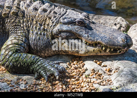 Large American alligator (Alligator mississippiensis) at Homosassa Springs Wildlife State Park on Florida's Gulf - Stock Photo