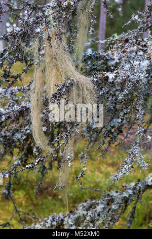 Beard lichen on a branch - Stock Photo