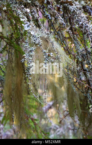 Beard lichen on a branch in the woods - Stock Photo