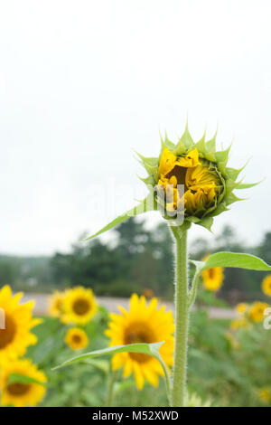 Tall Blooming Sunflower - Stock Photo