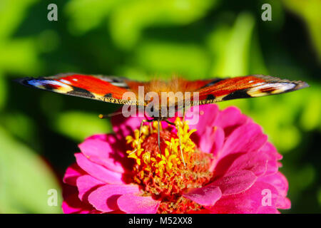 butterfly of peacock eye sitting on the flower of zinnia - Stock Photo