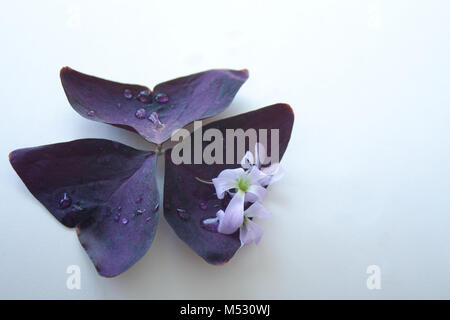 Purple Shamrock with Flowers and Raindrops - Stock Photo