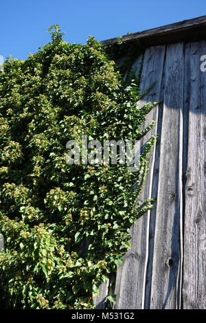 Hedera helix, Ivy, flowers - Stock Photo