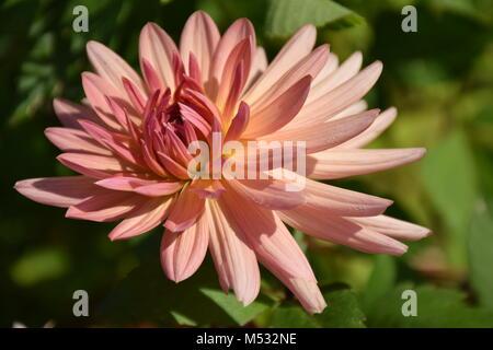 Beautiful Pink Dahlia (Georgina) Flower in the Garden on a Sunny Day. Stock Photo. - Stock Photo