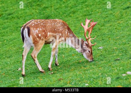 Deer Grazing on the Grass - Stock Photo
