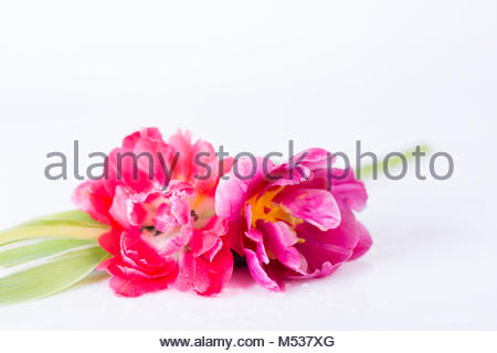 Close up view on pair of pink and yellow flowers with little green leaves on white - Stock Photo