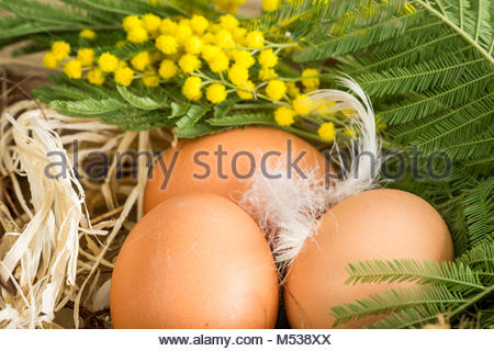 Three farm fresh brown hens eggs and dainty white feathers in straw decorated with a twig of colorful yellow mimosa - Stock Photo