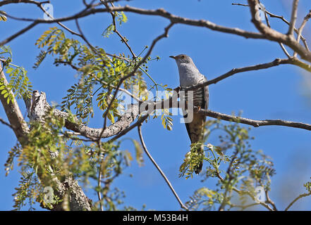 Madagascar Cuckoo (Cuculus rochii) adult male perched on branch, Madagascan endemic   Ampijoroa Forest Station, - Stock Photo