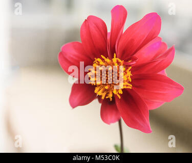 Scarlet Dahlia in closeup on a windy day - Stock Photo