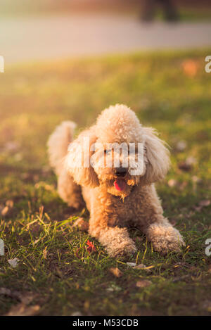 One cute miniature poodle, sunset in a park - Stock Photo