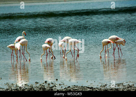 Flock of flamingos wading in a lake. Photographed in Tanzania - Stock Photo