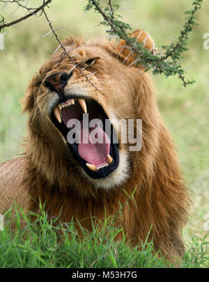 Roaring male African lion. Photographed in Serengeti national Park, Tanzania - Stock Photo