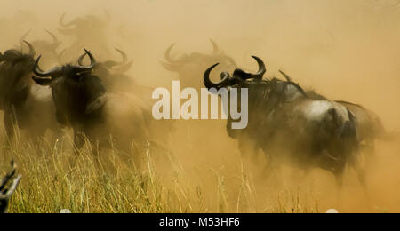 Annual migration of over one million Blue Wildebeest (Connochaetes taurinus) and 200,000 zebras. Photographed in - Stock Photo