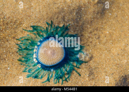 Close up Blue Button Jellyfish (porpita porpita) on the beach when the sea water receded. - Stock Photo