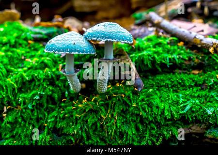 blue smurf mushrooms - Stock Photo