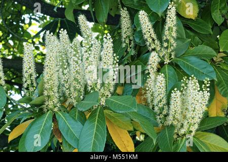 tree of cherry laurel, flowers and leaves - Stock Photo