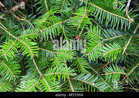 green branches of young fur-tree. Evergreen needles - Stock Photo
