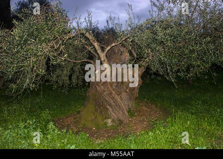 Old olive tree, olea europaea, in Lefkada, Greece. - Stock Photo