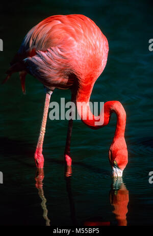 Greater flamingo - Stock Photo