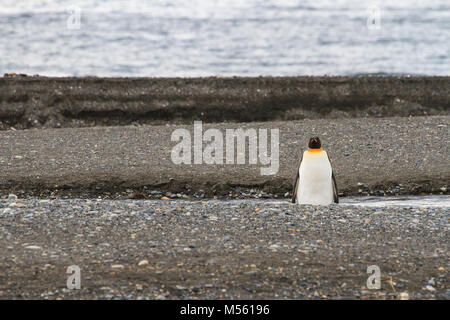 A lone King Penguin (Aptenodytes patagonicus) resting on the beach at Parque Pinguino Rey, Tierra del Fuego Patagonia, - Stock Photo