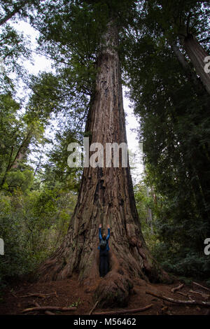 Giant Redwood in Big Basin Redwoods State Park, California - Stock Photo