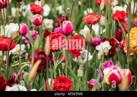 colorful tulips flowers blooming in a garden - Stock Photo