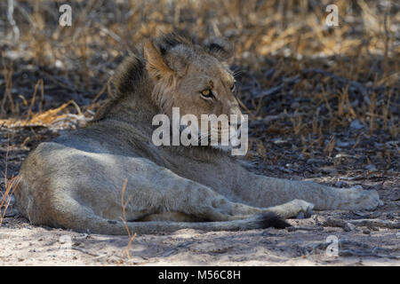 Black-maned lion (Panthera leo vernayi), young male lion lying in the shade, Kgalagadi Transfrontier Park, Northern - Stock Photo