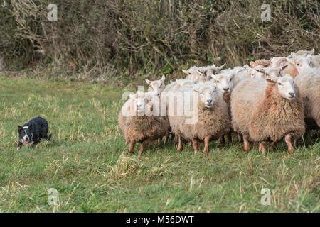 sheepdog herding sheep - Stock Photo