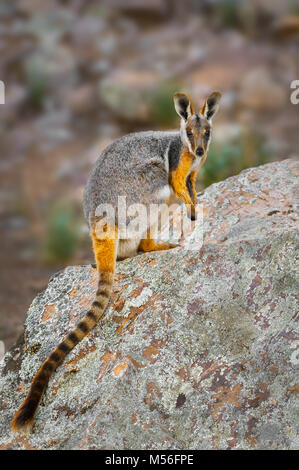 A rare Yellow-footed Rock-wallaby sitting on a rock. - Stock Photo