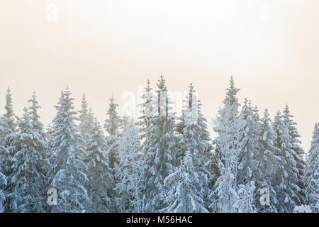Frost on the spruce trees in forest - Stock Photo