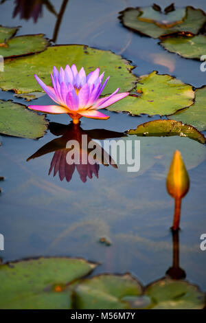Purple waterlily with reflection - Stock Photo