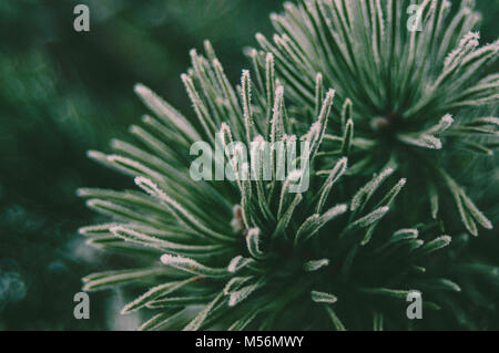 Green Spruce branches. Forest mood. Winter light. - Stock Photo
