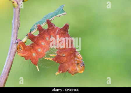 Imperial Moth caterpillar on Chestnut Oak at Reed Run Preserve, Lancaster Conservancy, Lancaster County, Pennsylvania, summer.