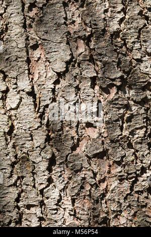 Gewöhnliche Fichte, Fichte, Rot-Fichte, Rotfichte, Rinde, Borke, Stamm, Baumstamm, Picea abies, Common Spruce, Spruce, - Stock Photo
