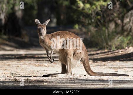 A Western Grey Kangaroo (Macropus fuliginosus) on Molloy Island, near Augusta, western Australia - Stock Photo