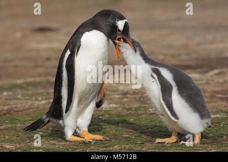 Gentoo Penguin colony - Stock Photo