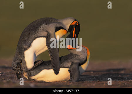 Mating link penguin - Stock Photo