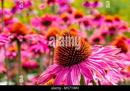 Echinacea purpurea 'Rubinglow' or commonly known as purple coneflower 'Rubinglow' - Stock Photo