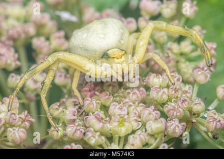Crab Spider (Misumena vatia) waiting for prey on an umbellifer flower. Tipperary, Ireland. - Stock Photo