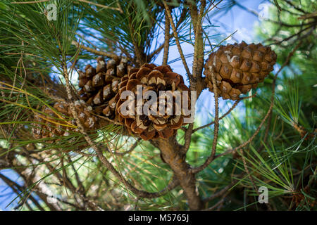 Huge pine cones in a Mediterranean pine cone tree - Stock Photo