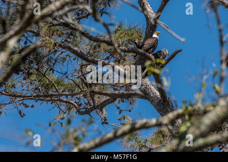 A pair of bald eagles (America's national bird) perched in a pine tree at Sawgrass Players Club in Ponte Vedra Beach, - Stock Photo