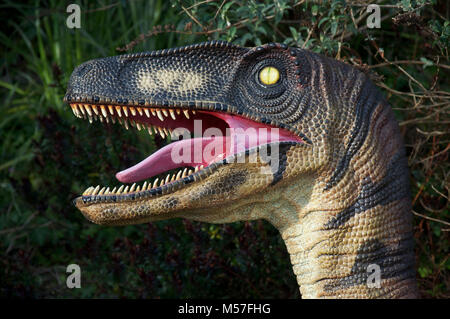 The head of a Velociraptor dinosaur, from a life size model, showing its sharp pointed teeth and a beady yellow - Stock Photo