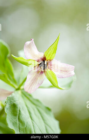 Close-up image of the spring flowering Trillium undulatum flower also known as willd painted trillium, painted wakerobin - Stock Photo