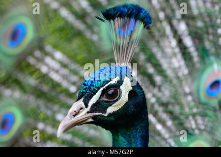 Head shot of a peacock with it's tail feathers fanned out - Stock Photo