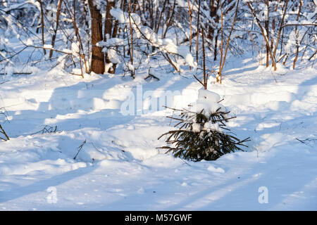 Small spruce fir tree covered with fresh snow in a winter forest. Beauty of the cold season - Stock Photo
